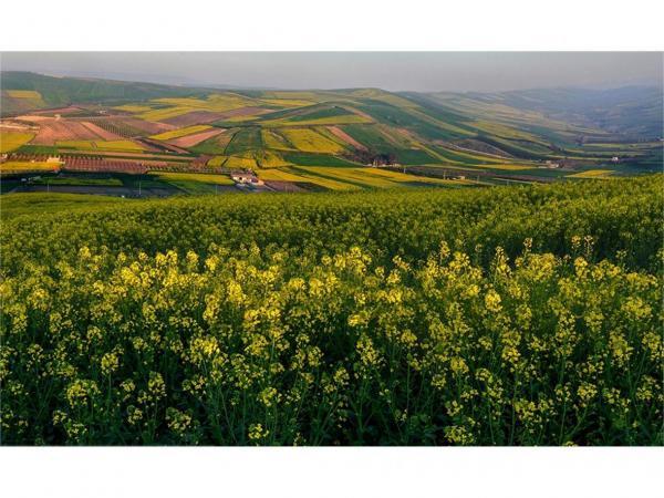 2800 هکتار مزارع کلزای میاندورود مبارزه شیمیایی شد، سطح سبز 900 هکتاری